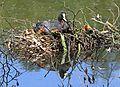 Blässhuhn im Nest auf dem Wasser.2H1A6559WI.jpg