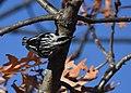 Black-and-white Warbler (documentation photos) (31406910687).jpg