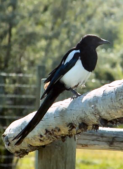 Black-billed Magpie.png