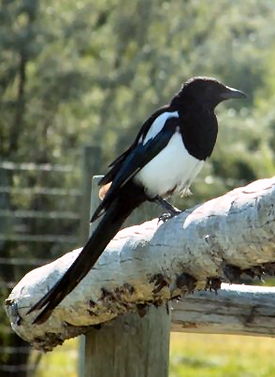 Black-billed Magpie.png