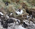 Black-browed Albatross amidst Rockhopper Penguins (5545908856).jpg