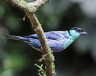 Black-capped tanager - male in northwestern Ecuador
