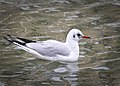 Black-headed gull (31997619701).jpg
