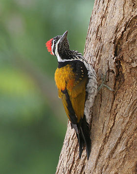 Black-rumped Flameback (Dinopium benghalense) in Hyderabad, AP W IMG 8015.jpg