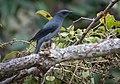Black-winged Cuckooshrike (cropped2).jpg