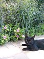 Black Cat in the Garden 1.jpg