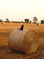 Black cat sitting on a round straw bale.jpg