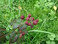 Blackberries wild in forest.jpg