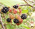 Blackberry fruits02.jpg