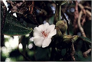 <i>Blakea</i> Genus of flowering plants