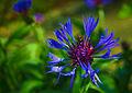 Blaue Kornblume.jpg