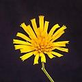 Bloem van gevlekt havikskruid (Hieracium maculatum). 02-09-2020 (d.j.b.) 01.jpg