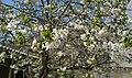 Blossom of Cherries03.jpg