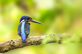 Dehing Patkai Wildlife Sanctuary - A Blue-eared kingfisher photographed inside the wildlife sanctuary