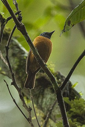 Blue-fronted Flycatcher - Sulawesi MG 5103 (19329646411).jpg