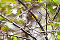 Blue-gray gnatcatcher (19647807053).jpg