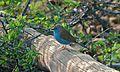 Blue Waxbill (Uraeginthus angolensis) (6005205973).jpg