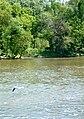 Blue heron takes off (166250291).jpg