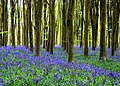 Bluebells and Beech Trees - panoramio (1).jpg