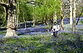 Bluebells at The Knapp (34159246515).jpg
