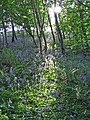 Bluebells in Dufton Ghyll Wood - geograph.org.uk - 390082.jpg