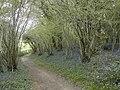 Bluebells in Whitsbury Wood - geograph.org.uk - 409529.jpg