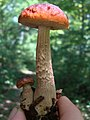 Boletus longicurvipes Snell and A.H. Smith 201839.jpg