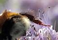 Bombus terrestris queen leg HC1.jpg