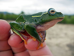 Boophis occidentalis 01.jpg