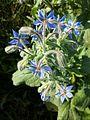 Borago officinalis sl6.jpg