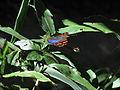 Borboleta colorida em meio às vegetações do Parque Nacional da Serra da Canastra.JPG
