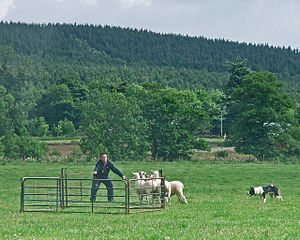 English: Border collie penning at Ballogie. Th...