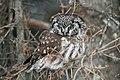 Boreal Owl - Flickr - GregTheBusker (2).jpg