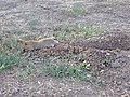 Botta's pocket gopher gathering food - 2.jpeg