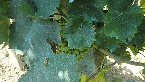 Bordeaux mixture - Bordeaux mixture on grapes