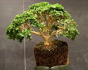 Boxwood demonstration bonsai by Min Hsuan Lo.jpg