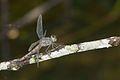 Brachydiplax sobrina-Kadavoor-2016-06-27-002.jpg