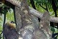 Bradypus variegatus 1zz.jpg