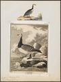 Branta leucopsis - 1700-1880 - Print - Iconographia Zoologica - Special Collections University of Amsterdam - UBA01 IZ17600183.tif