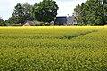 Brassica napus field, koolzaadveld(2).jpg