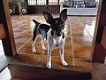 Brazilian Terrier.jpg