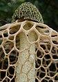 Bridal Veil Stinkhorn (Phallus indusiatus).jpg