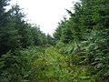 Bridleway through plantation - geograph.org.uk - 1438209.jpg