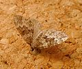 Broken-barred Carpet. Electrophaes corylata. - Flickr - gailhampshire.jpg