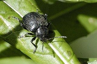 Bromiini Tribe of leaf beetles