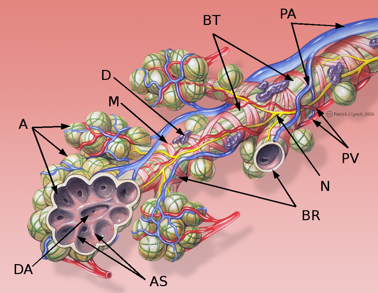 bronchiole structure