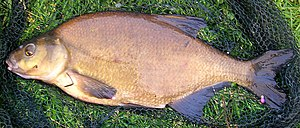 Common bream - A mature bronze-coloured common bream from the Netherlands