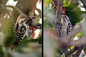 Brown-capped pygmy woodpecker - Picture of Brown Capped Pygmy Woodpecker taken in Haldwani, Uttarakhand, India