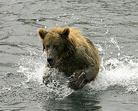 Brown Bear in Stream.jpg