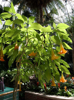 meaning of brugmansia
